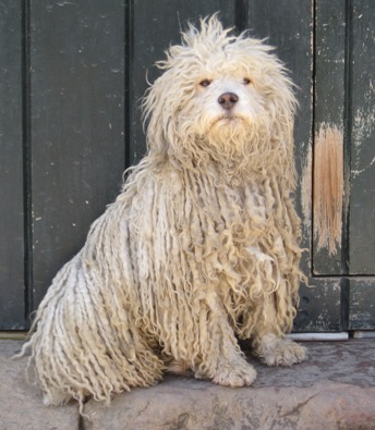 """A Hungarian """"Puli"""" in Colombia"""